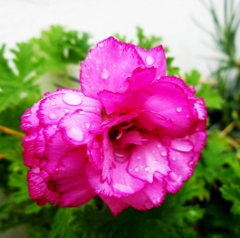 Carnations Bicolor Pink Purple Edge Flowers