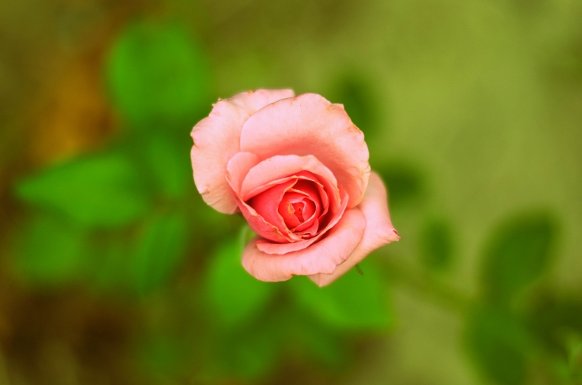 The pink... rose