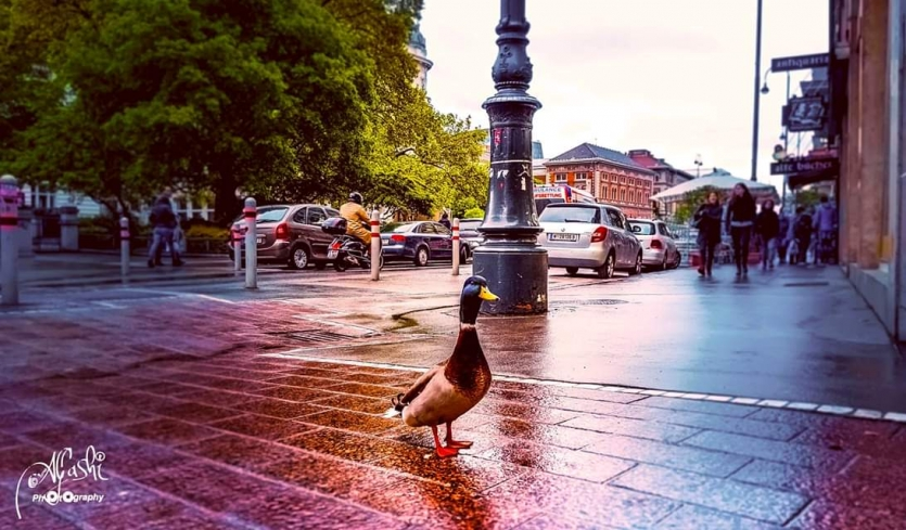 A Cute Duck Walking On The Street