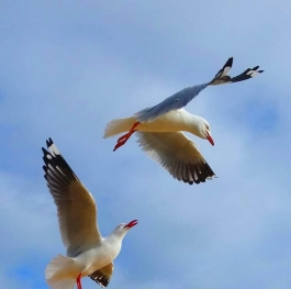 The flight of seagulls