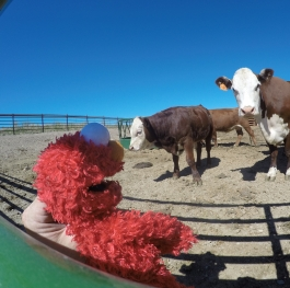 Elmo out with the cows