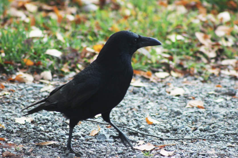 The waling crow
