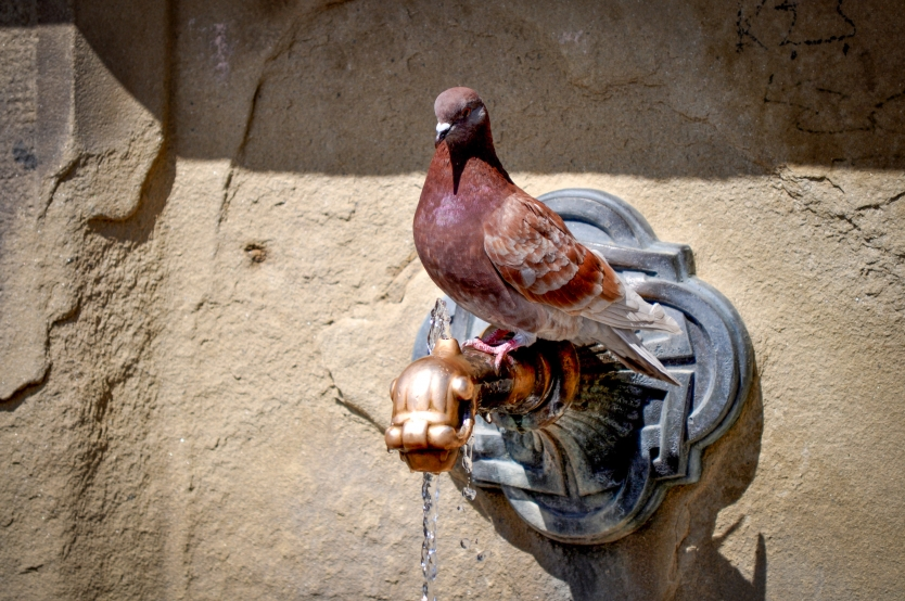 Pigeon at the fountain