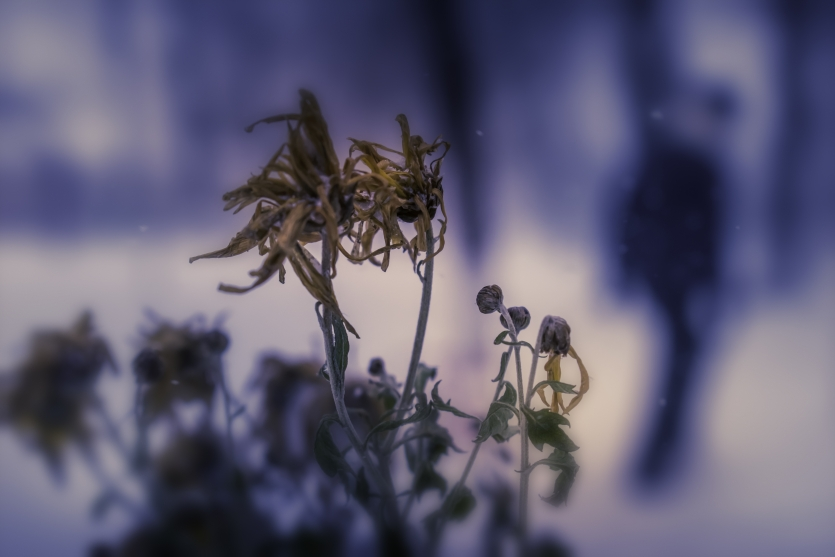 Frozen flower in midwinter
