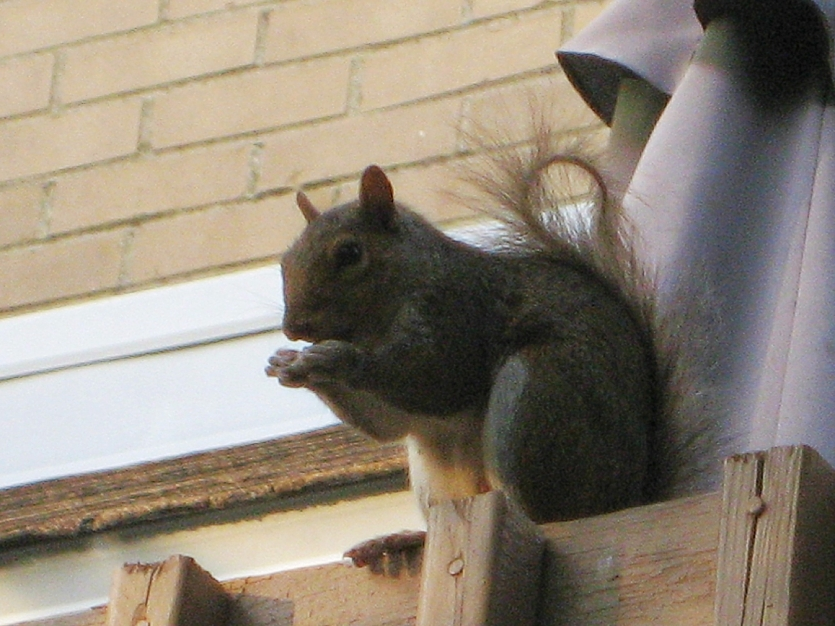 US squirrel :-))