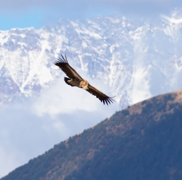 Himalayan Vulture with Himalayan mountains in background