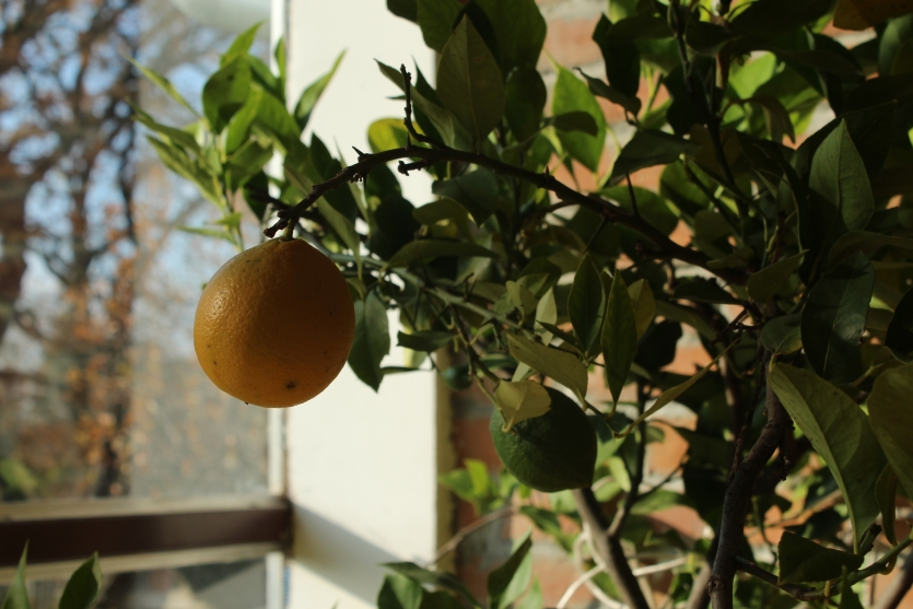 Lemon in my garden...