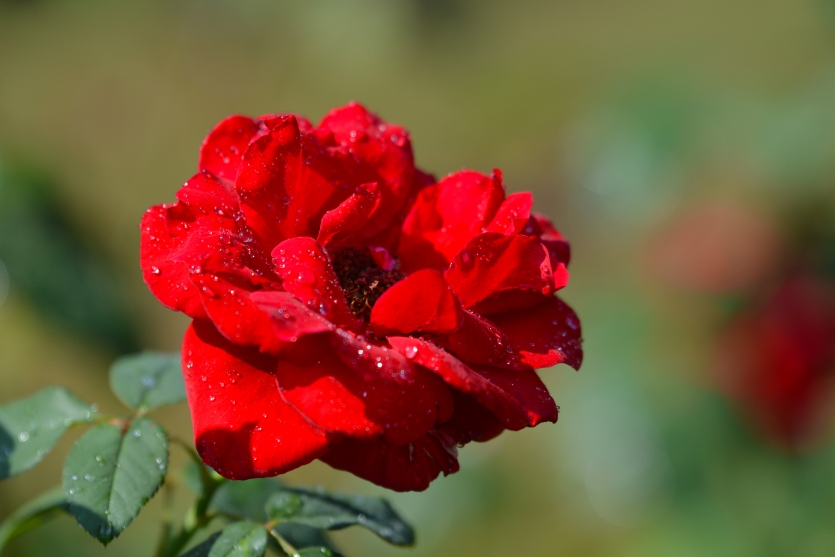 Solitary Red Rose