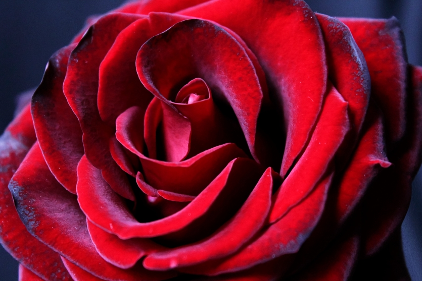 Red-burgundy rose