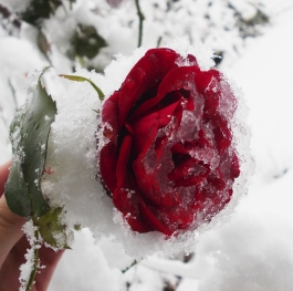 What a lovely thing a rose is!