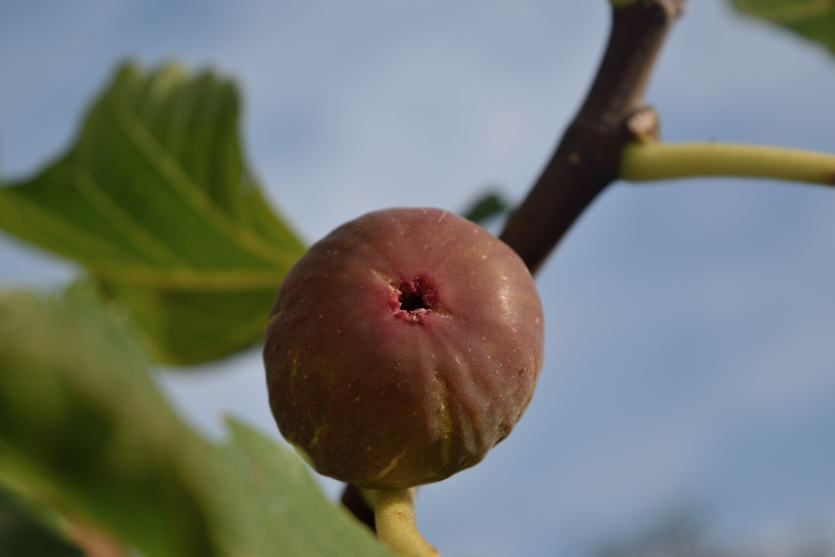The cute fig