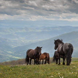 Life of free horses on serbian mountains