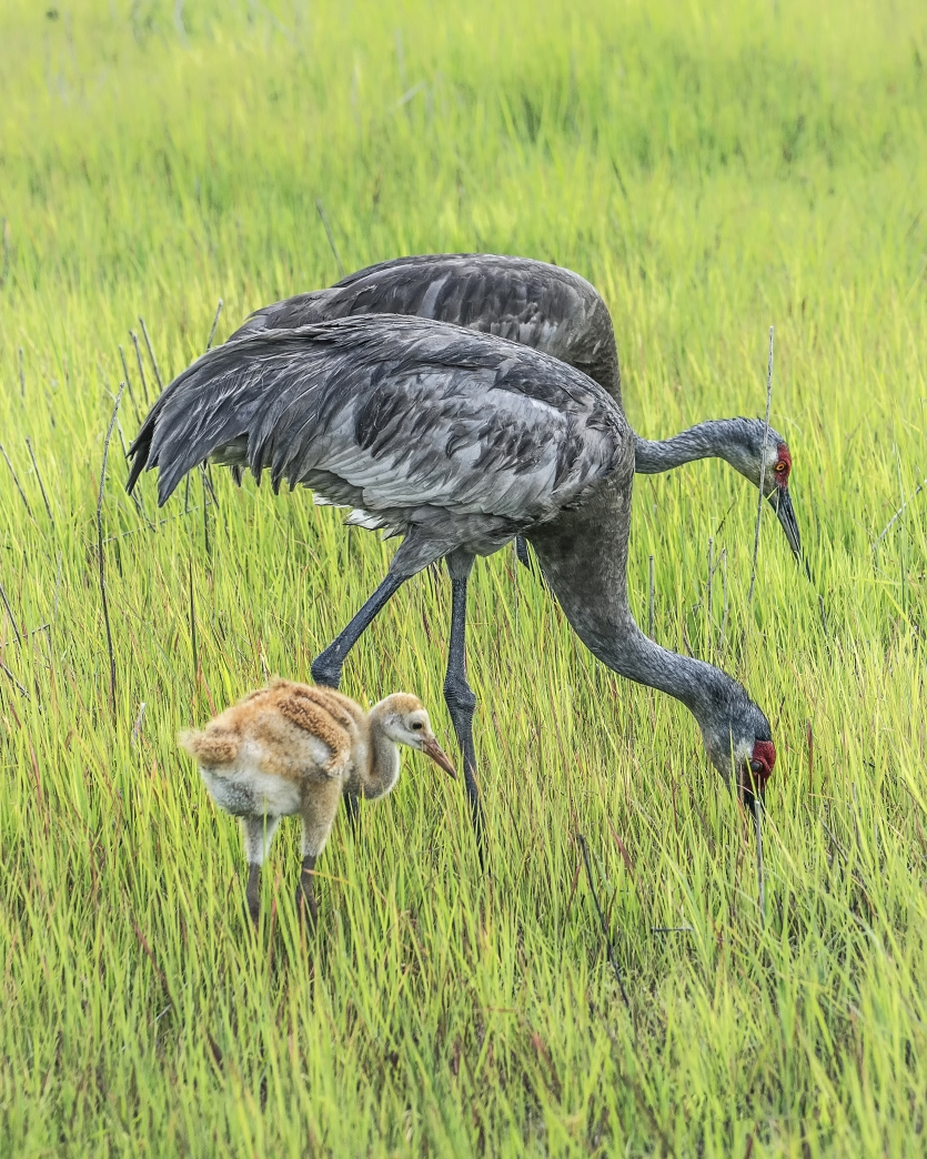 Sandhill crane parents with chick