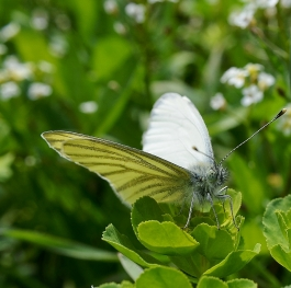 Green veined White Butterfly (Pieris napi)