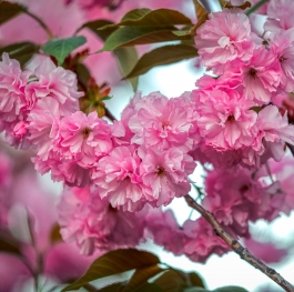 The wonderful aroma of cherry blossoms