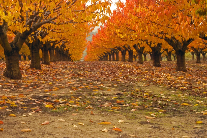 Grove of Cherry Trees in Fall