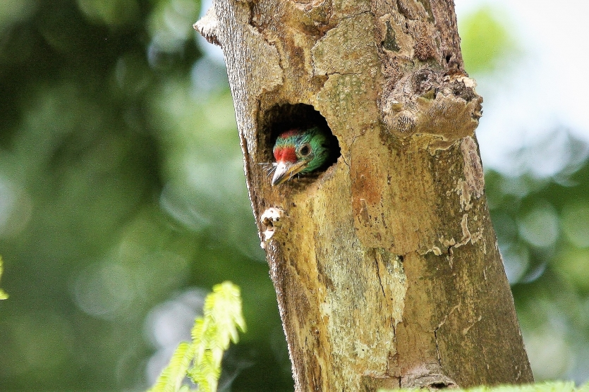 Baby of Blue-throated barbet