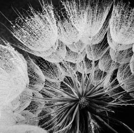 Macro world, Dandelion