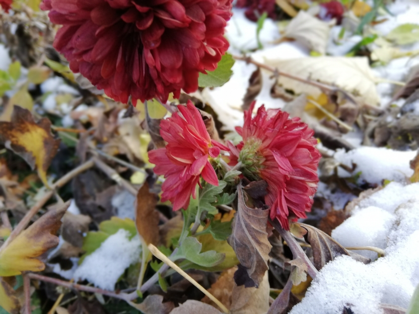 Red and snow