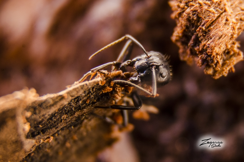 ant in wood