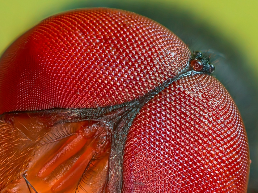 Eye of Blue bottle fly