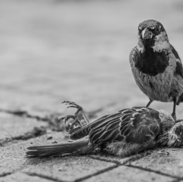 Last august of a sparrow