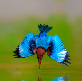 white-throated kingfisher in action