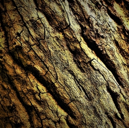Catalpa Tree (texture photography)