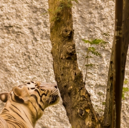 The Tiger and the Woods