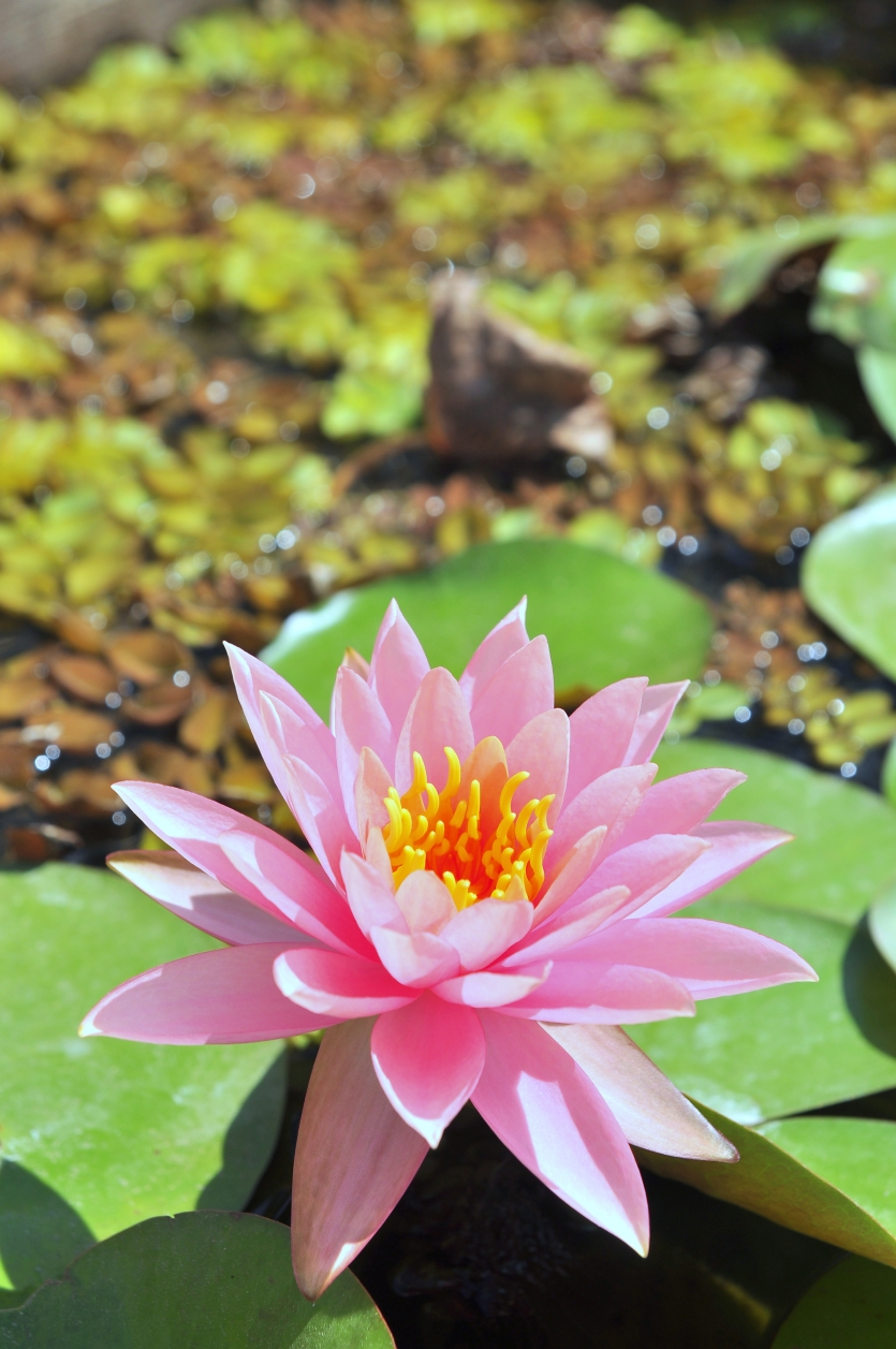 Waterlily flower in the sunshine