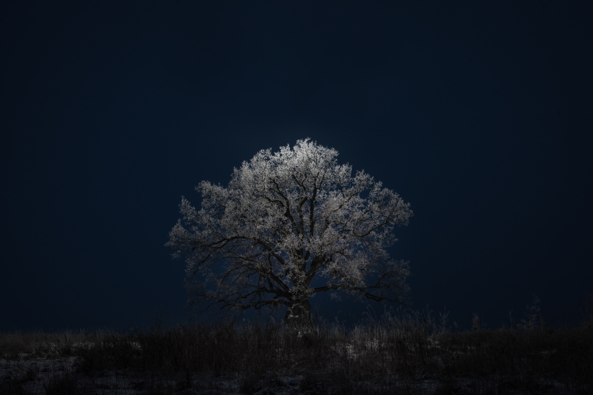 Quercus. Lonely. Majestic