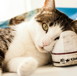 A cats love of Converse