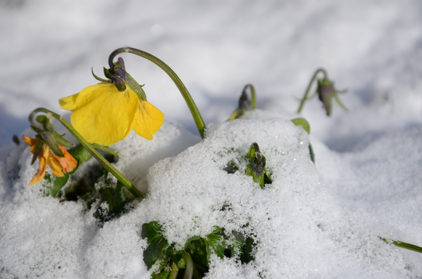Oenothera in the snow