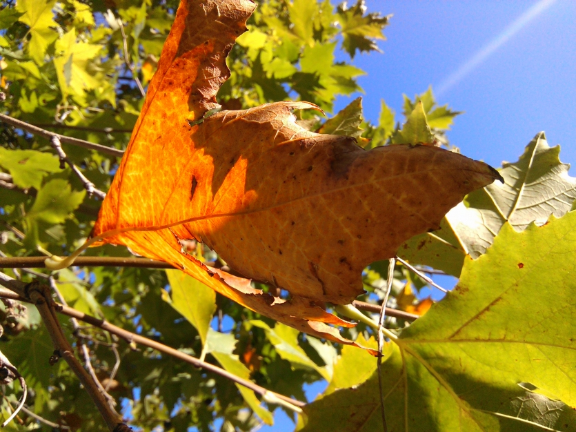 First dead leaves