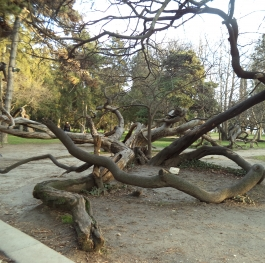 Тhe crooked tree of the Sea Garden Varna