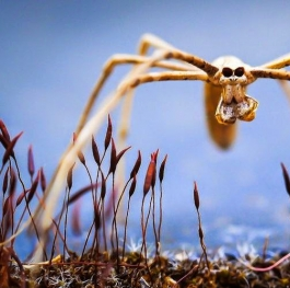 Cannibal Faced Spider