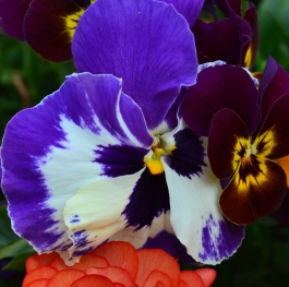 The Ranunculus and the violets