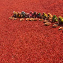 Women collecting red chilies