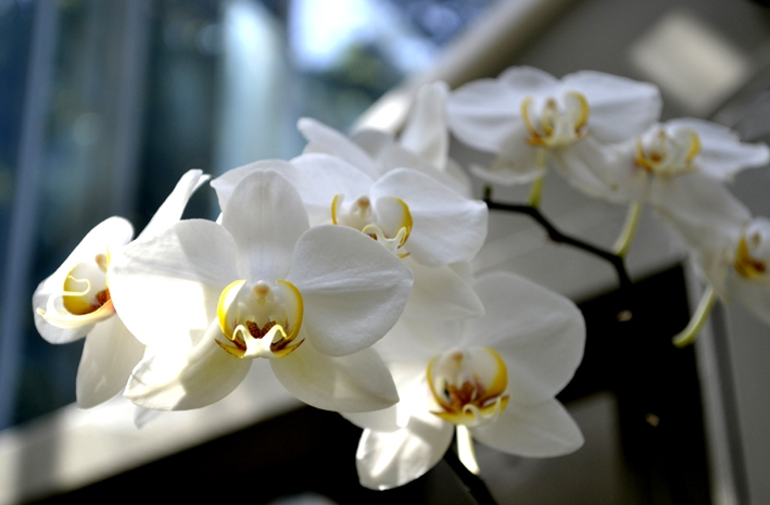 beautiful white orchids with yellow anther