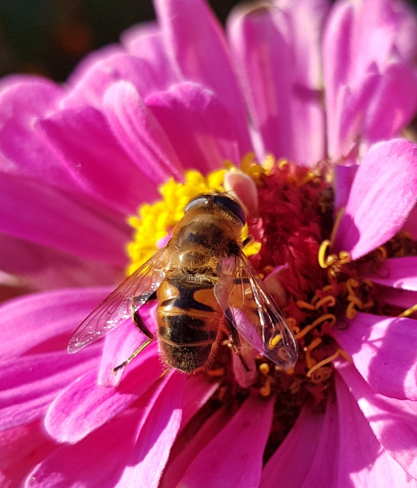 A bee collecting pollen from a pink flower