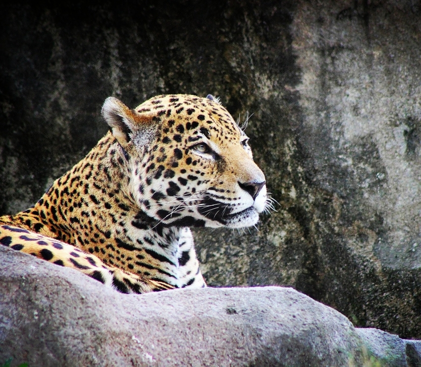 The Majestic Leopard