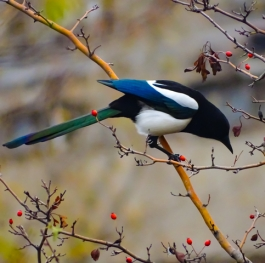 Magpie perched on a rose hip.