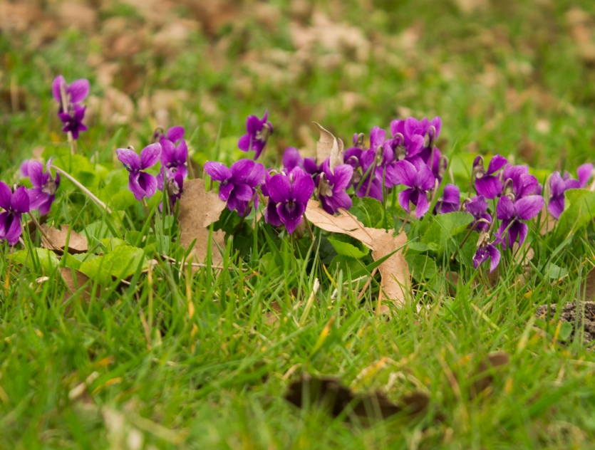 Wild violets in the middle of the city