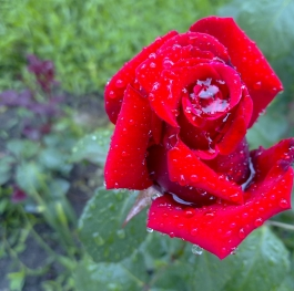 Happiness tears (dew) on a beautiful red rose