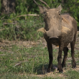 Warthog covered in mud
