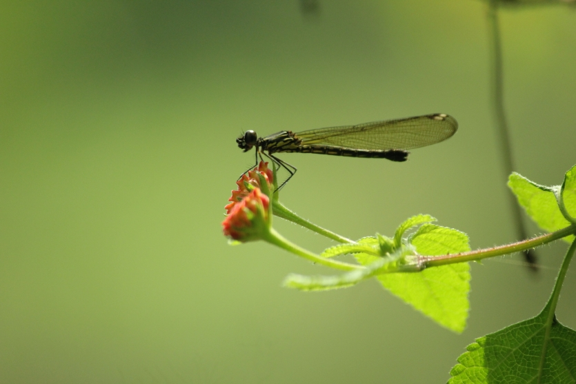Hill side DragonFly (thumbi)