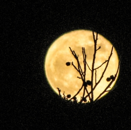 The full moon  is taking  the hazelnuts from the tree