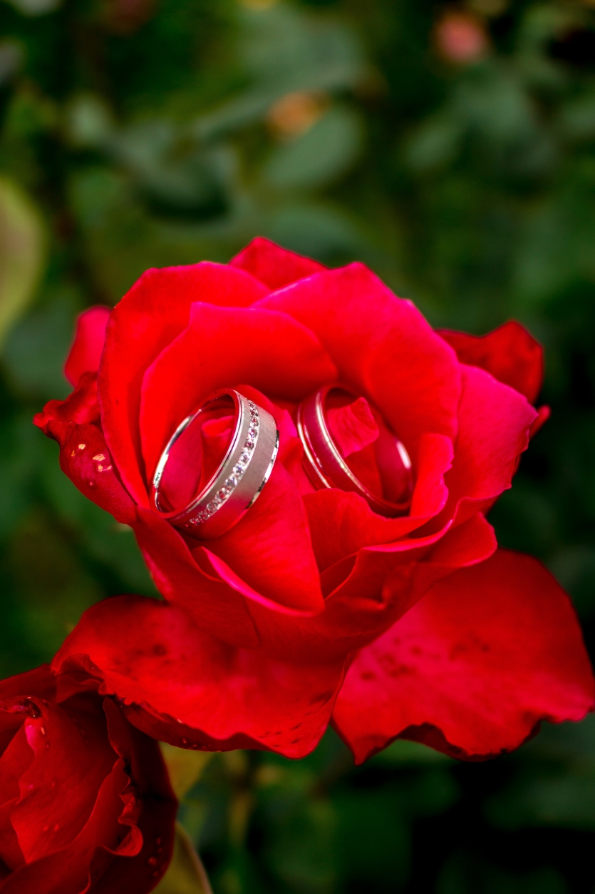 Wedding rings in a red rose