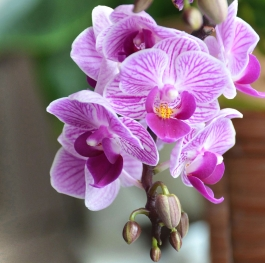 The beauty of the orchid