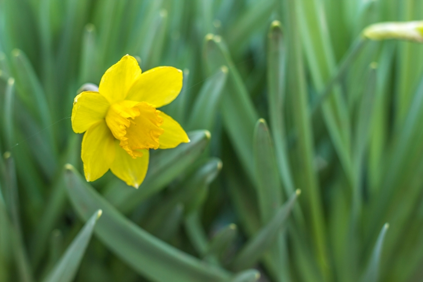 Daffodil or Narcissus